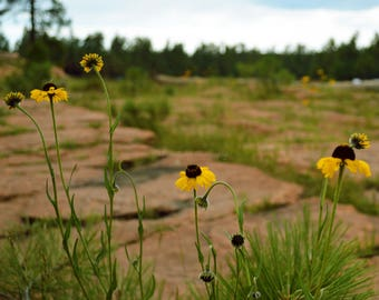 Wildflower photography, digital download, printable photo, forest photography, AZ wildflower photo, botanical photo, wall art