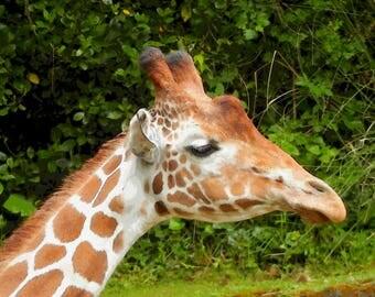 Photo Notecard-Giraffe