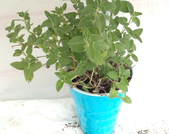 Live CATMINT Plant Well Rooted Quality Starter Perennial Herb
