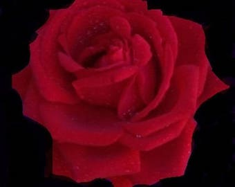 Blank Greeting Card 8: Red Rose Flower for You
