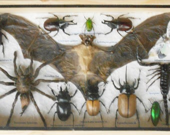 REAL Multiple Insects Beetles Spider Scorpion Bat Collection in wood Box