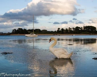 Photography: Swan water's edge. size 13 x 18 cm