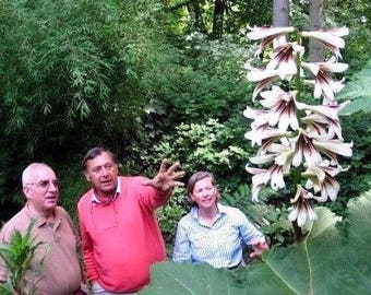 GIANT HIMALAYAN LILY Cardiocrinum Giganteum Yunnan Bulb Hardy Perennial 10 Seeds