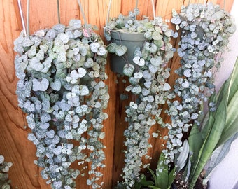 String Of Hearts Plant (Not Variegated) Ceropegia Woodii Plant Rosary Vine Plant Succulent Planter Hanging Vine Plant Succulent Vine Plant