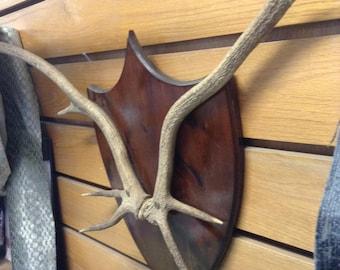 Genuine Deer Antlers on Mahogany Plaque