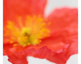 Nature Photograph - Floral Art - Flower Photograph - Pink - Vibrant #1 - Fine Art Photograph - Alicia Bock - Botanical - Poppy - Oversized