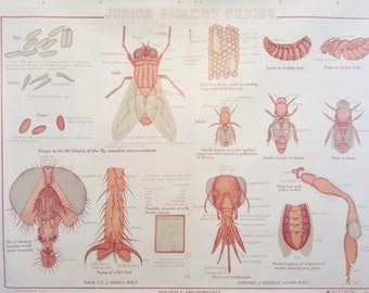 House Fly and Honey Bee Anatomical   Classroom Teaching Chart  Zoology  Teaching Chart