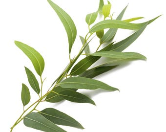 2 Pounds of Fresh Eucalyptus Leaves