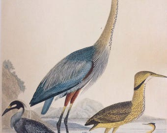 Herons by Warnicke,  1990s Reproduction Colorplate, Book Plate, 10 x 14 in. Book Page Print, Bird Print, Ornithology Print