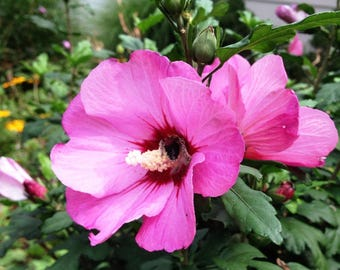 24 to 36 inch Tall Live Rooted Pink Hibiscus aka Rose of Sharon - Beautiful Pink Blooms, Perennial