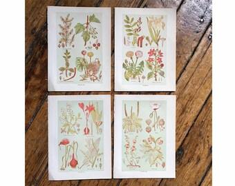 c. 1906 MEDICINAL PLANT PRINTS - antique botanical lithographs - botanical prints - botany flower print - herbal medicine print - set of 4