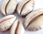 Large Natural Cowrie Shell Beads, Seashell Beads, 5 pcs
