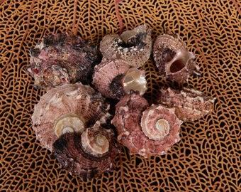 """6--Delphinula Seashells  1"""" to 2""""--Hermit crabs-aquarium-terrariums-crafting"""
