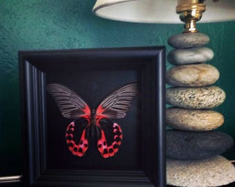 Real butterfly in shadowbox frame - Butterfly Framed Art, Butterfly Decor, Framed Butterfly, Real Butterfly
