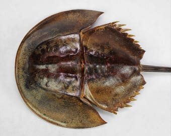 "11""-12"" Creepy Horseshoe Crab, Head is 5 to 6"", Real Taxidermy Preserved Dried Animal Specimen Decoration"