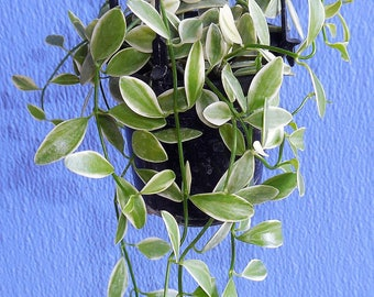 Dischidia Oiantha 'Variegata' - Small Leafed Succulent Plant - Live Plant Rooted