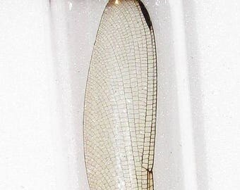 Real Clear Dragonfly Fairy Wing Preserved in Glass Vial Taxidermy Entomology Insect Bug