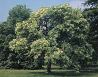 10 Flowering Ash Tree Seeds, Fraxinus ornus