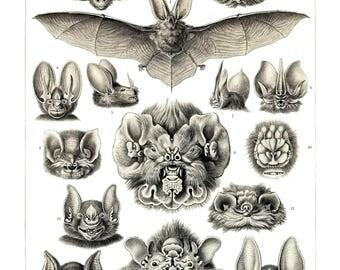 Ernst Haeckel's Vintage Artwork Chiroptera