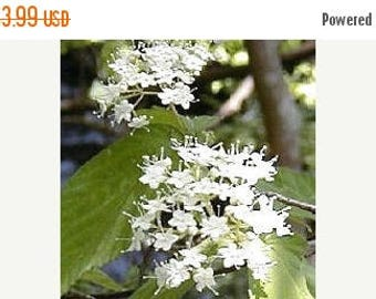 Teak Tree 10 seeds clusters of pure white blooms Rare Tropical Houseplant Perfect container plant Tectona grandis