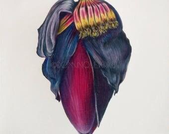 Banana Flower Pencil Drawing