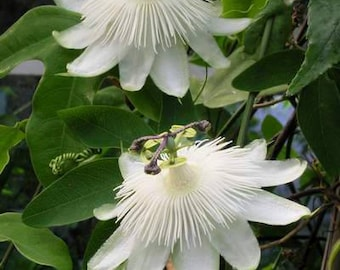 Passiflora white green seeds ,204, the clock flower,flower seeds, gardening, climbing flower, clock flower,