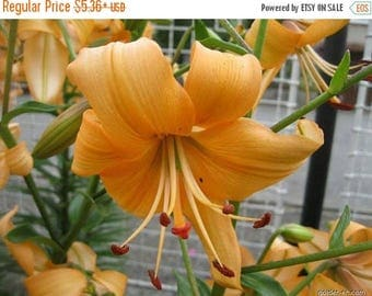 BIG SALE Asiatic Lily, Pearl Stacey ( bulb) Pots and Planters,Cut Flowers. Perennial