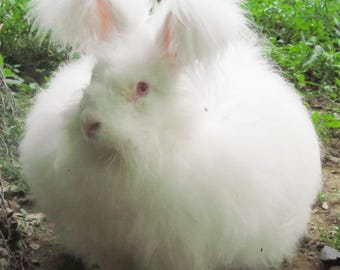 1.1 of of White English Angora Fiber from Princess for Spinning or Felting