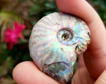 Ammonite Fossil ~ G1