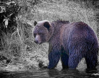 Young Grizzly Bear