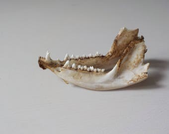 Jaw Bones with Teeth • Mammal Bones • Natural Found Teeth