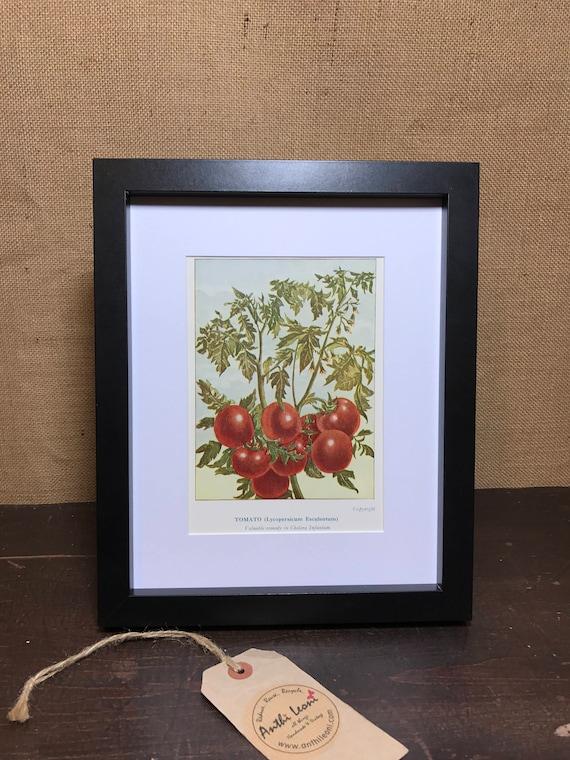 Tomato Botanical Book Plate Print - Mounted Vintage Tomato Plant Illustration - Kitchen Decor - Kitchen Wall Art - Vintage Kitchen Decor