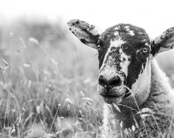 Sheep in wild grass