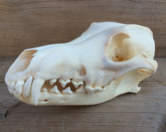 Coyote Skull Real Authentic Montana Coyote Skull Extra Large