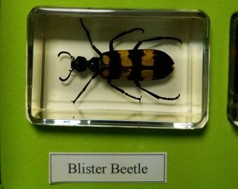 Lucite paperweight or display with a blister beetle insect