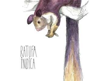 Squirrel Squirrel Indica