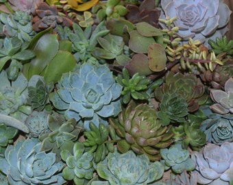 25 Large Succulent Cuttings