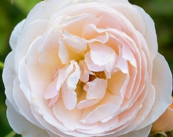 Digital Photograph Pink Rose (ID:016)