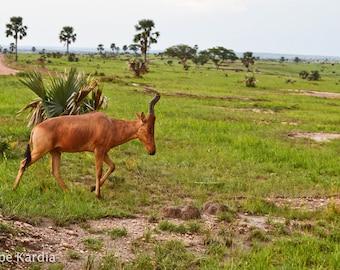 Jackson's Hartebeest Antelope in Uganda [Digital]