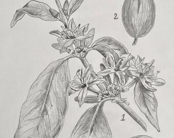 Original Graphite Drawing 'The Coffee Tree'
