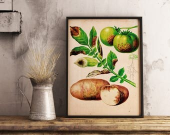 Four Vintage Prints - Rotten Strawberry, Tomato, Pumpkin, Carrot, Apple - 1973 Botany Encyclopedia - Printable Art - Instant Download