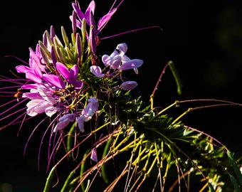 Cleome; The Spider Flower, photograph