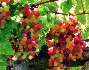 Rainbow Grape ColoUr Vine Fruit Plant Seeds 13+ Seeds Uk Stock