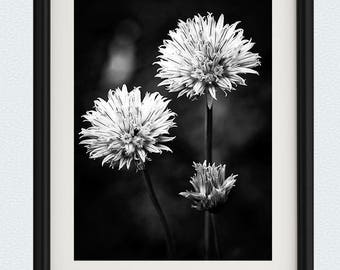 Chive Blossoms - Wall Art - Black and White - Flower Photography - Flower Print - Vertical Print - Fine Art Photography - Floral Photography