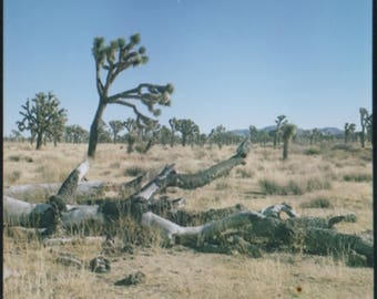 Fallen Joshua Tree in a desert forest
