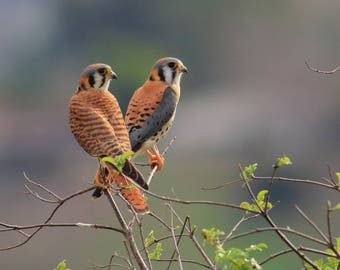 American Kestrel couple