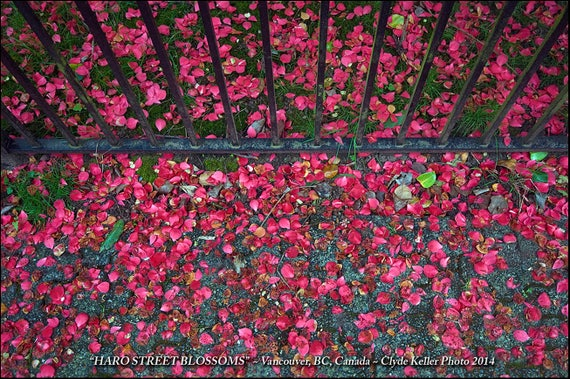 HARO STREET BLOSSOMS, Vancouver, Clyde Keller photo, 2014