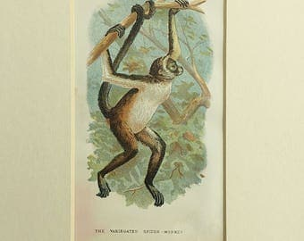 Antique Monkey print, Ape Primate Monkey, Variegated spider monkey, Brown Spider Monkey, Lloyd's Natural History, South American animal
