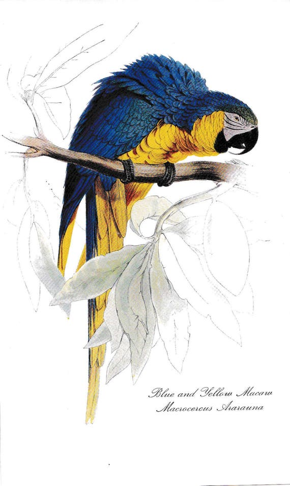 1940's print of parrot, Blue and Yellow Macaw, reproduction of coloured lithograph by Edward Lear, blue, yellow, green feathered bird
