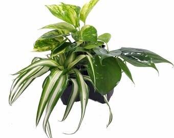 "Vining House Plant Collection - Spider Plant/Philodendron/Devil's Ivy - 3"" Pots"